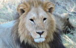 Lejon svarta ögon